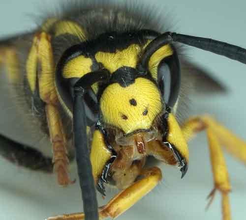 Beißen Wespen